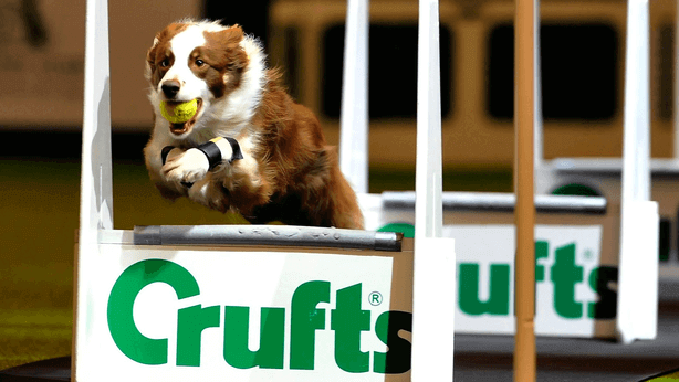 crufts dog jumping over an obstacle
